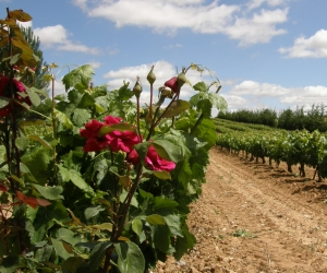 Ribera del duress wine tour from madrid