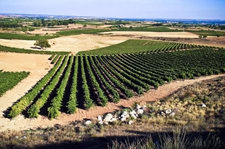 Vineyard Ribera del Duero