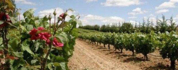 Ruta de vino Ribera del Duero